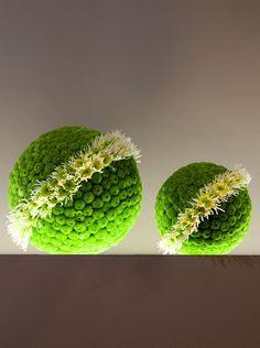 Chrysanthemum x morifolium 'Kermit Mums' and Chrysanthemum morifolium 'Spider Mums'