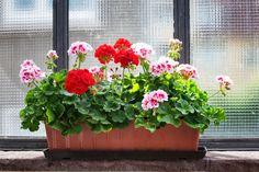 Oricât de comune ar fi, mușcatele se numără printre cele mai frumoase flori de interior datorită culorilor lor variate și vesele. Sunt plante lipsite de pretenții și nu necesită îngrijiri speciale. Dar, dacă vrei să aibă flori bogate și mari, … Continuă citirea →