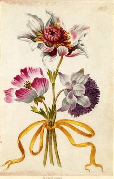 Drawing from an album, red and white, and purple Anemones, tied with yellow ribbon Watercolour over metalpoint, shaded with grey wash, on vellum. From Alexander Marshal's Florilegium.: