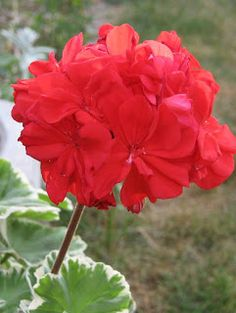 Very simple red Geranium bouquet for me.  Perhaps also for the girls.