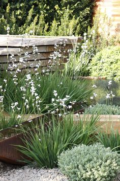 libertia grandiflora is a really useful evergreen plant, with delicate white flowers which emerge in early summer. Dry Garden, Gravel Garden, Garden Shrubs, Garden Landscaping, Seaside Garden, Coastal Gardens, White Gardens, Back Gardens, Small Gardens