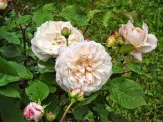Promesse de roses: Gruß an Aachen / Salut à Aix-la-Chapelle
