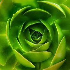 Las plantas suculentas o crasas son aquellas en las que tallo , la raiz o las hojas se han engrosado para permitir el almacenamiento de ...