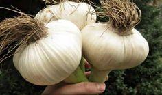 Pěstujete růže? Toto nasypte kolem záhonu a zapamatujte si tuto radu na každou sezónu: To je k nezaplaceni pro každého pěstitele – Domaci Tipy Onion, Garlic, Vegetables, Sun, Plant, Vegetable Recipes, Onions