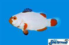 Maine Blizzard Clownfish