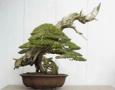 This is the first styling of the BIG Yew Bonsai, I have waited three years since the tree was potted into this pot, it was VERY healthy so now perfect for th. Pine Bonsai, Juniper Bonsai, Bonsai Art, Bonsai Garden, Bonsai Trees, Single Tree, Miniature Trees, Tiny World, Small Trees
