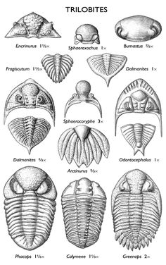 images of trilobite fossils