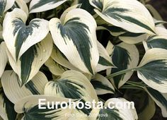 #Hosta #Firn #Line. This is the most beautiful cultivar from all those in this colour combination. It grows better as Great Escape or Blue Ivory and shows bigger colour contrast. Hosta is the best shade plant.