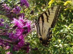 centaureas and a swallowtail butterfly