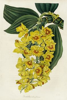 Paxton Magazine Botany Orchids 1834