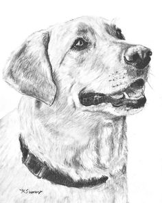 Charcoal Drawing Yellow Lab In Profile Drawing
