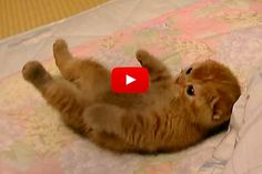 Kitten Rolling Around Trying to Catch His Human's Hand - Love Meow