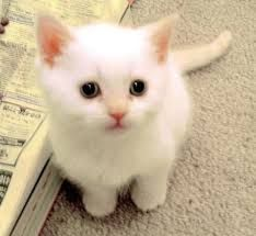 Small Cat Breeds, so stinking cute White Kittens, Cute Cats And Kittens, I Love Cats, Kittens Cutest, Ragdoll Kittens, Funny Kittens, Tabby Cats, Bengal Cats, Black Cats