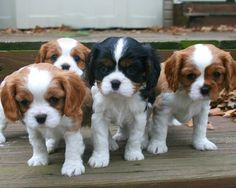 """cavalier-king-charles-14 From your friends at phoenix dog in home dog training""""k9katelynn"""" see more about Scottsdale dog training at k9katelynn.com! Pinterest with over 18,600 followers! Google plus with over 120,000 views! You tube with over 400 videos and 50,000 views!! Serving the valley for 11 plus years"""