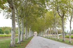 Allée de platanes, Château Margaux