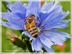 Honey Bee in blue flower
