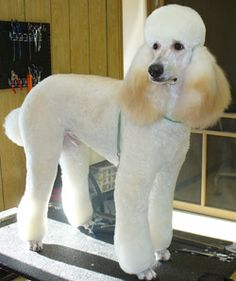 trimming poodle ears | Ears cleaned Nails trimmed Hair under and around the feet trimmed Bath ...