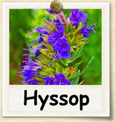 I planted hyssop today. Curious to see what it does.