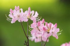 R. vaseyi - pinkshell azalea - native azalea  - 1.5 GALLON