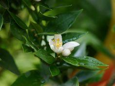 Blühender Chinotto (Citrus myrtifolia)