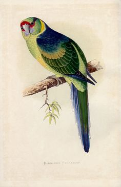 Antique Bird Print Green Parrot Wall Hanging Vintage Ornithology Nature Studies Home Decor Wall Art Print GnosisPictureArchive Bird Illustration, Illustrations, Bird Prints, Framed Art Prints, Colorful Parrots, Vintage Birds, Antique Prints, Home Decor Wall Art, Bird Art