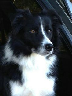 Border Collie/ Looks just like my Ruby! Border Collie Puppies, Collie Dog, Cute Dogs Breeds, Dog Breeds, Border Collie Pictures, Warrior Cats Books, Clever Dog, Herding Cats, Hachiko