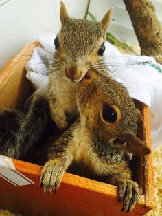 Eating fruits provide this animal a significant sugar boost at the same time offers plenty of energy to keep running around and find more goodies. Animals And Pets, Baby Animals, Funny Animals, Cute Animals, Cute Creatures, Beautiful Creatures, Animals Beautiful, Cute Squirrel, Baby Squirrel
