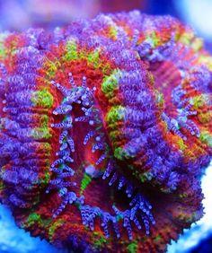 An Acan coral. en zo kan ik uren doorgaan, met plaatjes opslaan, borden vullen, en dan noch is dat niet toe reikend, ..........................................lbxxx.