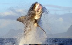 breaching shark pictures | great white shark breaching off the coast of South Africa Photo ...