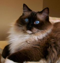 'Seal Point, Mitted Ragdoll'  Our blue eyed baby, Oliver