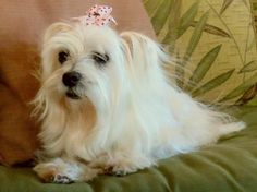 Saving K9 Lives Plus, Inc Encino, CA. <3 Meet Heidi, 7 yr, 6.5 lb Maltese Yorkie X rescued from Ventura County Camarillo Shelter. Heidi had 6 mammary tumors removed when she was spayed. Heidi is a very sweet, beautiful little gal who wants love & hugs! House-trd. Adoption include her medical care for the mass removal, spay, microchip & vaccines. Thank you for choosing to adopt a shelter pet!