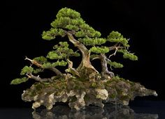 15 Most Awesome Bonsai Trees On Earth | Air Purifier Reviews