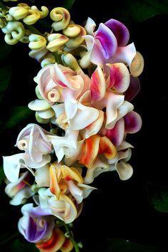 Reynolda Gardens the most beautiful flower by mbtphoto (away a lot), via Flickr.  A Corkscrew Vine