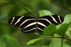 zebra wing butterfly - Google Search