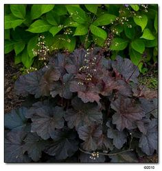 Heuchera 'Stormy Seas' is a coral bell that doesn't need resetting or mounding every few years, like so many other cultivars. Dan Heims, the hybridizer, considers this cultivar one of his top five heucheras and best landscape plants. No pruning necessary, except to remove flower stalks, which makes this an easy care perennial that can reach nearly 3 feet wide.