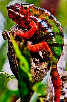 A colorful lizard from rain forest
