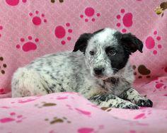 Blue Heeler Puppy:)
