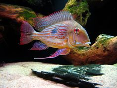 Geophagus altifrons we have 2 of these most beautiful fish. their streamers are so iridescent and long