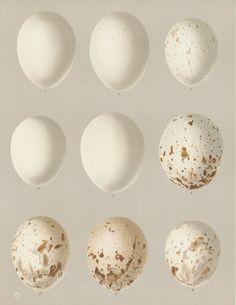 antique egg print