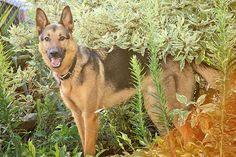 German Shepherd Dog, GSD, Photography, Photography Ideas, Dogs