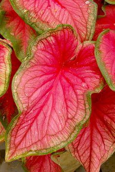 Close-up of Caladium bicolor 'Florida Sweetheart' [Family: Araceae] Tropical Flowers, Tropical Garden, Tropical Plants, Garden Shrubs, Shade Garden, Garden Plants, House Plants For Sale, Plants For Sale Online, Planting Bulbs