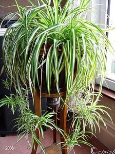 Spider Plant is one of the easiest houseplants to care for. Thrives best in low to minimal light and biweekly watering. Spider takes toxins and converts them to oxygen. Its an old standby but try dressing it up in an urn or letting it hang over a bookcase.