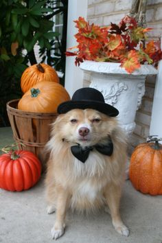 Here is Georgie our Pom/mix dressed to start handing out candy. Pet Halloween Costumes, Pet Costumes, Costume Contest, Your Pet, Candy, Pets, Animal Costumes, Sweets