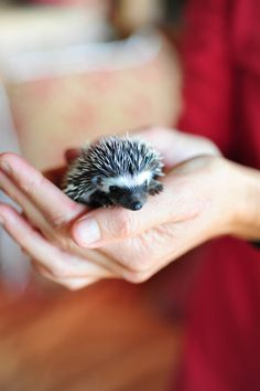 Baby Hedgehog. Karisia Walking Safaris