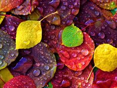Multi-Colored Aspen Leaves with Rain Drop Photographic Print by Russell Burden - AllPosters.co.uk