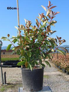 Vendita piante on line - Photinia Red Robin Corallo - Photinia Red Robin