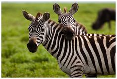 Viaje a Kenia. Foto de dos lindas cebras en un safari en Kenia.
