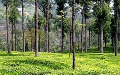 Tree Rows by Tumbhi Artist Rajendra Maheshwari