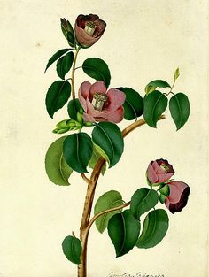 Peter Brown, Study of Camellia Blossom, 18th century