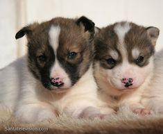 Cachorros de Husky Siberiano en Laponia finlandesa